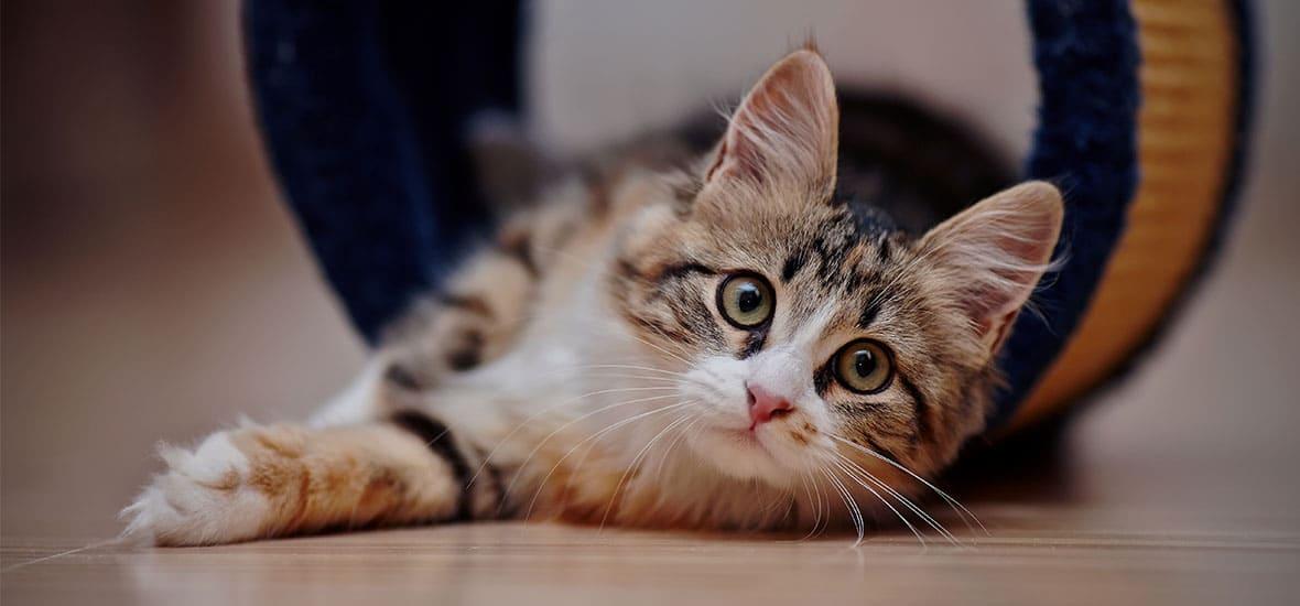 Почему в новое жилище первой должна зайти кошка